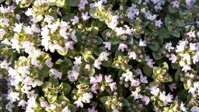 1514202032NI83y419 1 - خواص گیاه کاکوتی
