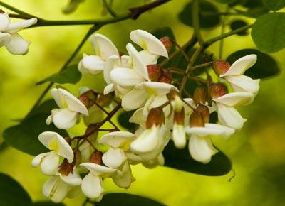 خاصیت گیاه اقاقیا,گلهای  گیاه اقاقیا