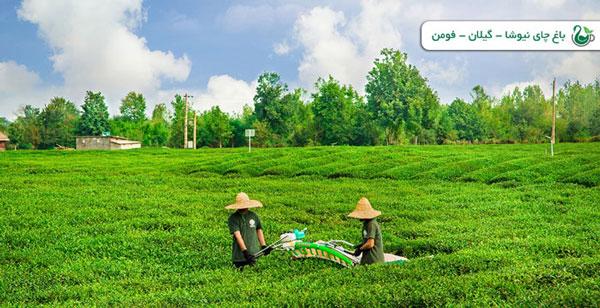 مزرعه کشت و صنعت چای نیوشا